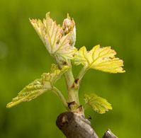 grape-leaf-shoot