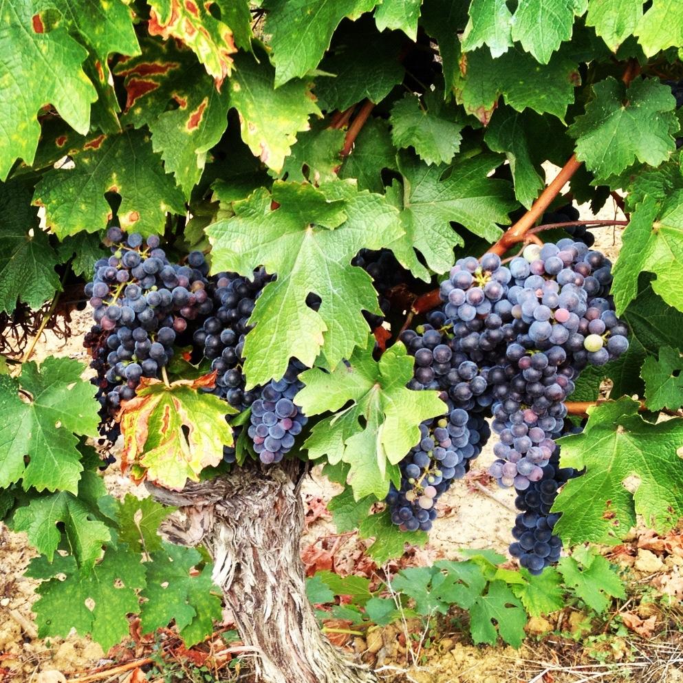 Languedoc Cabernet Sauvignon