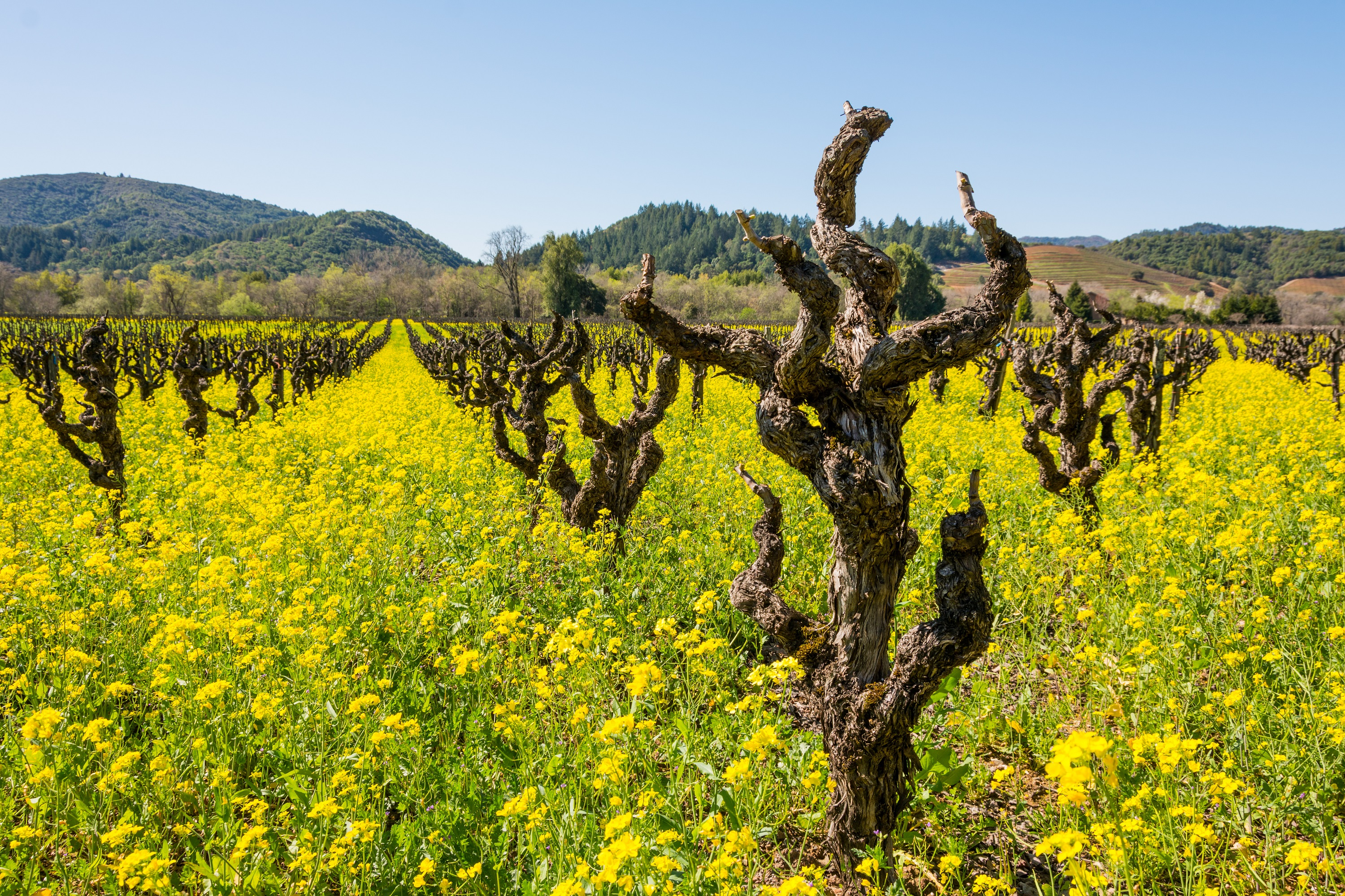Early Spring Vineyard with Mustard in Full Bloom, Sonoma County, California, USA