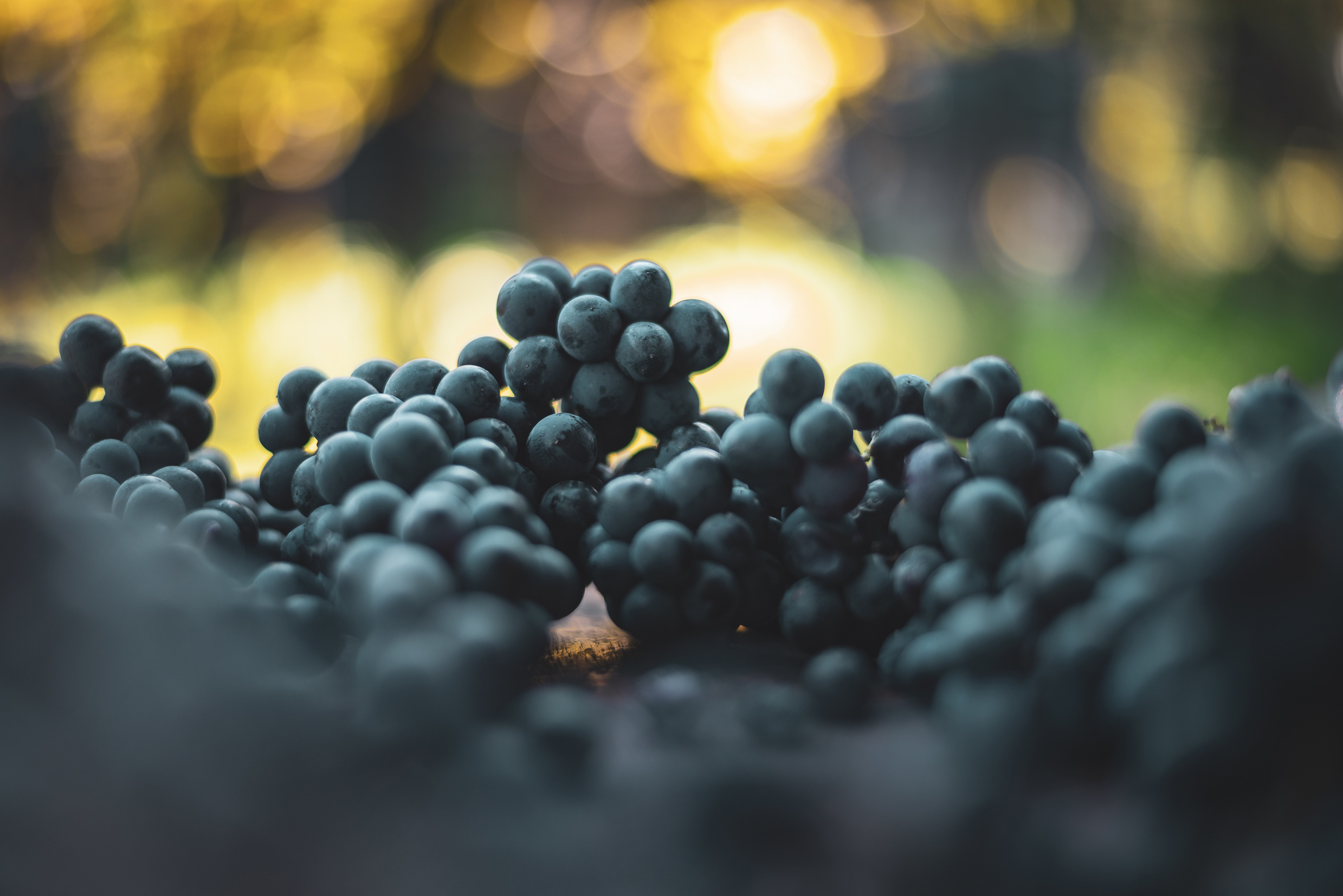 Blue vine grapes. Grapes for making wine. Detailed view of Caber
